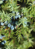 Juniper: properties of buds