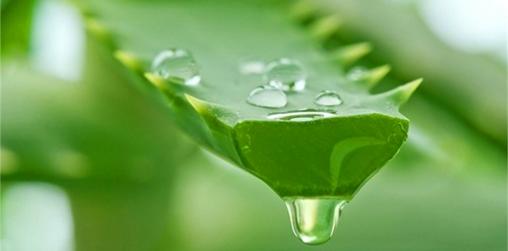 Aloe Vera to drink: benefits and effective advice