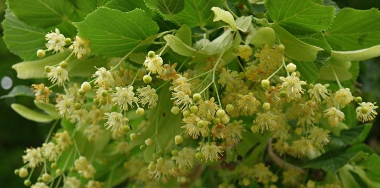 Lime and linden bud extract: the natural sedative
