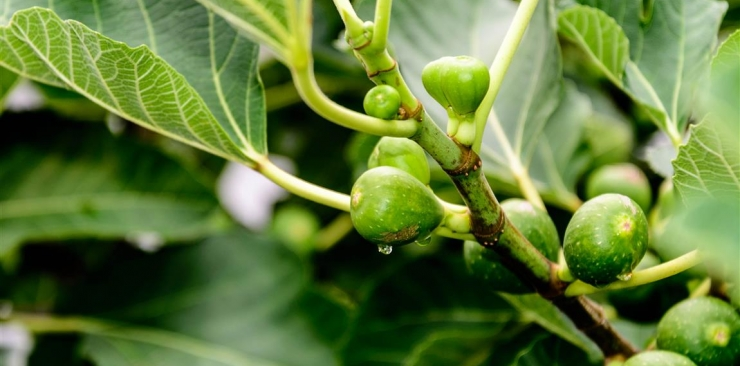 What Fig bud extract is used for