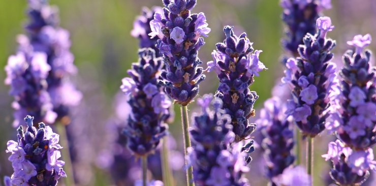 The fantastic benefits of lavender essential oil